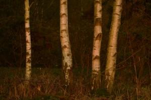 Birken im Abendlicht